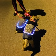 LED Dog Jackets 3 Border Terriers Chuck Berry & Mungo Jerry love their LED Dog Jackets!
