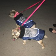 LED Dog Jackets 2 Border Terriers Chuck Berry & Mungo Jerry keeping snug and seen