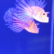 Lion Fish Tropical Mood Light 4