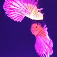 Lion Fish Tropical Mood Light 6