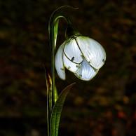 Solar Snowdrop Stake Light